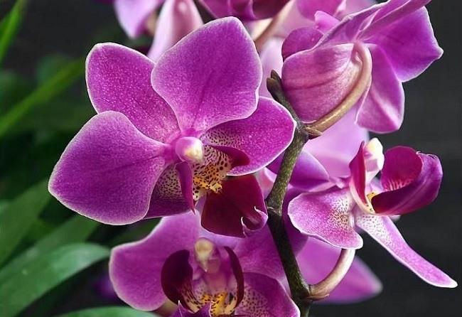 Яркое цветение phalaenopsis mukalla