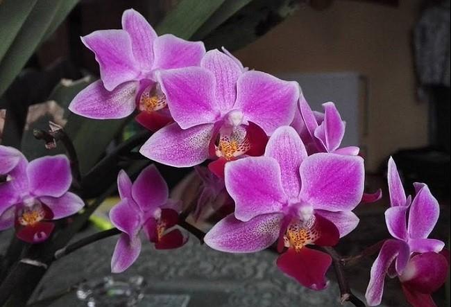Длинные цветоносы сереневой орхидеи Мукалла