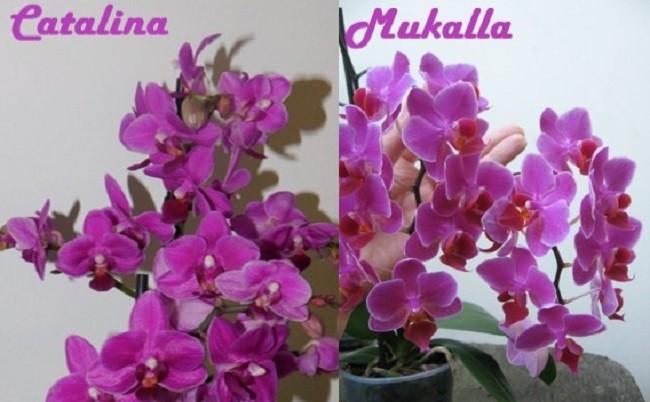 Фаленопсис Catalina