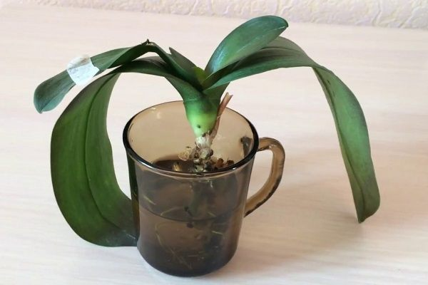 Реанимация орхидеи