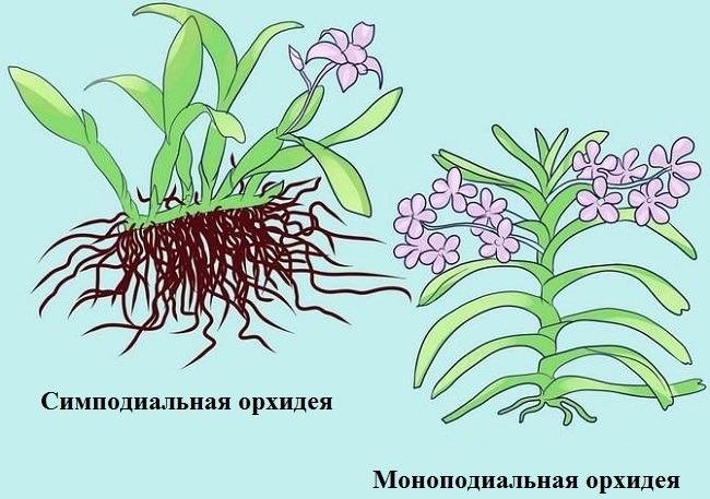 Симподиальные и моноподиальные орхидеи