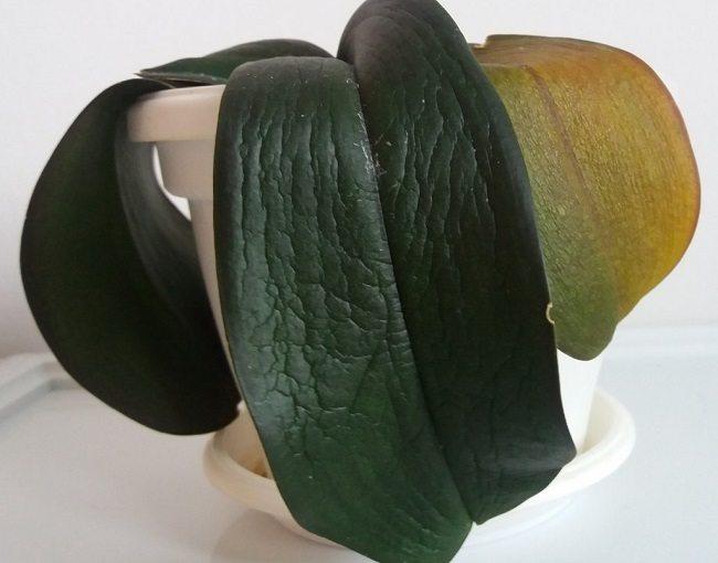 Вялые листья у фаленопсиса