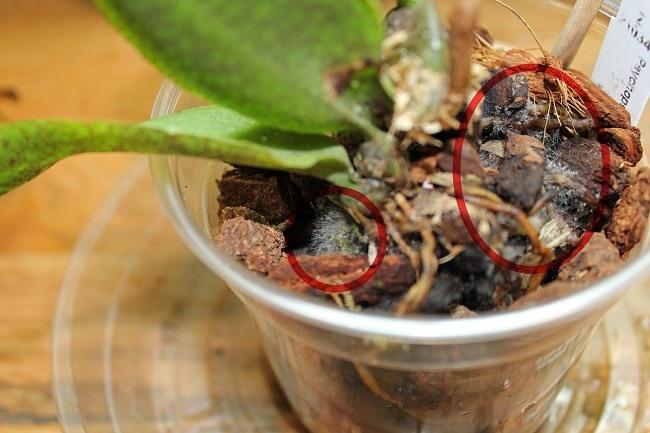 Старый грунт у орхидеи