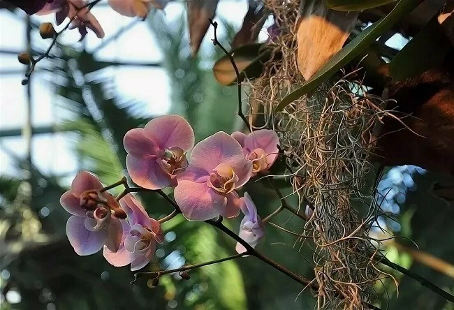 Фаленопсис растет на дереве