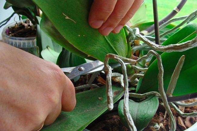 Обрезка листа у фаленопсиса