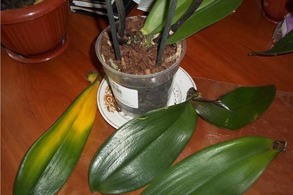 Орхидея сбросила листья
