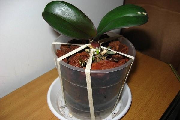 Фиксация орхидеи в горшке