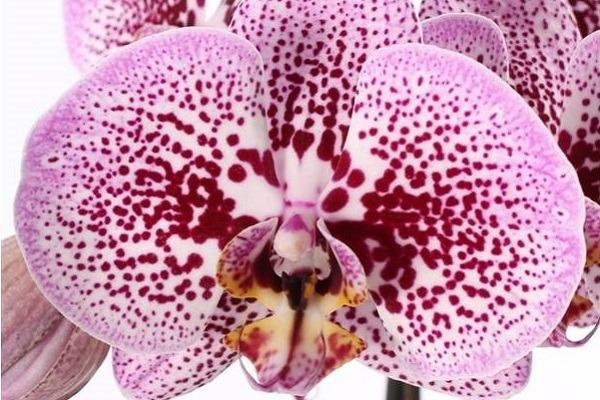 Красивый крап на орхидее