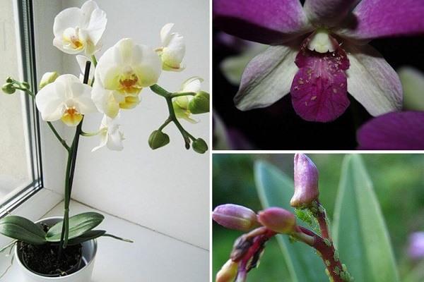 Поражение орхидеи тлей