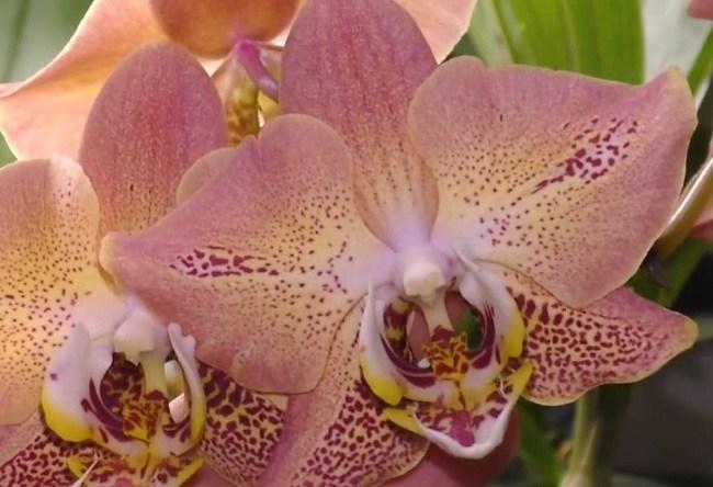 Цветение фаленопсиса