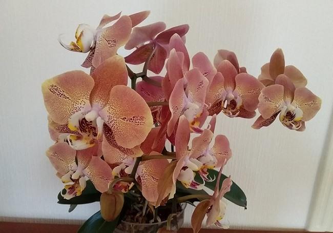 Пышное цветение Leko Fantastic