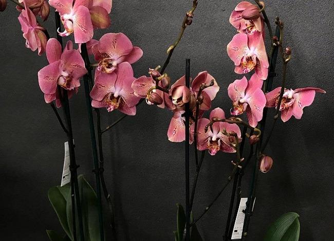 Несколько цветоносов у орхидеи