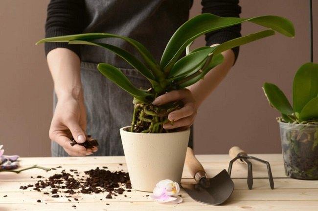 Пересадка орхидеи дома