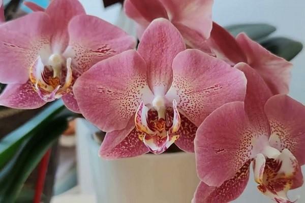 Нежная расцветка фаленопсиса Леко Фантастик