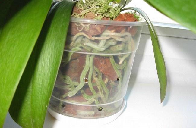 Корни фаленопсиса видны через стенки горшка