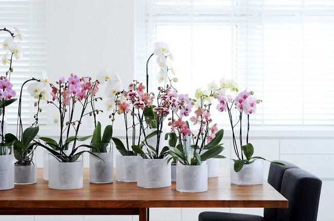Цветущие фаленопсисы дома