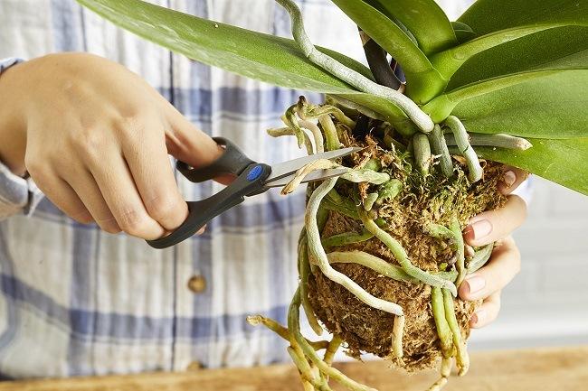 Обрезка корней орхидеи