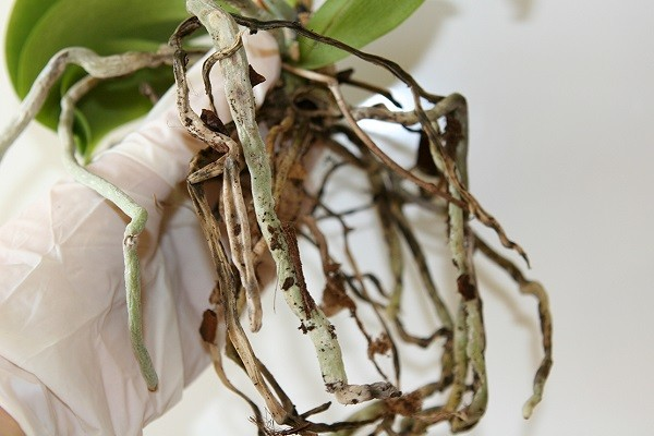 Орхидея с сухими корнями