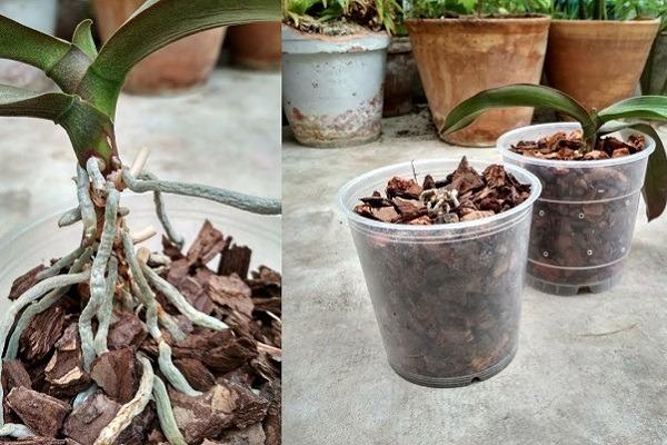 Деление орхидеи