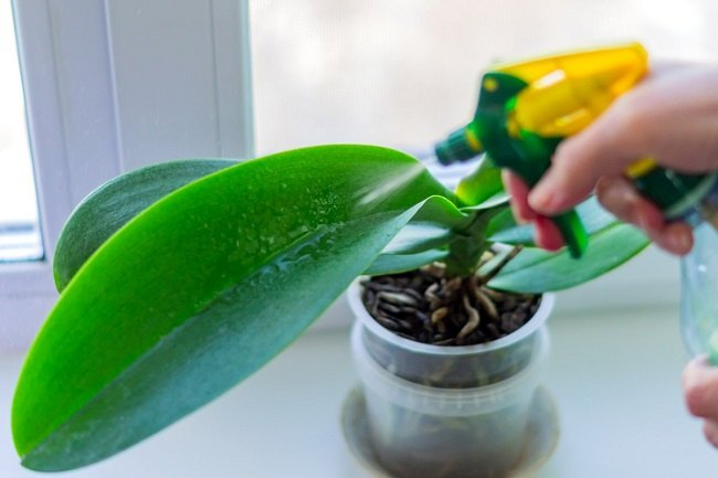 Опрыскивание листвы орхидеи
