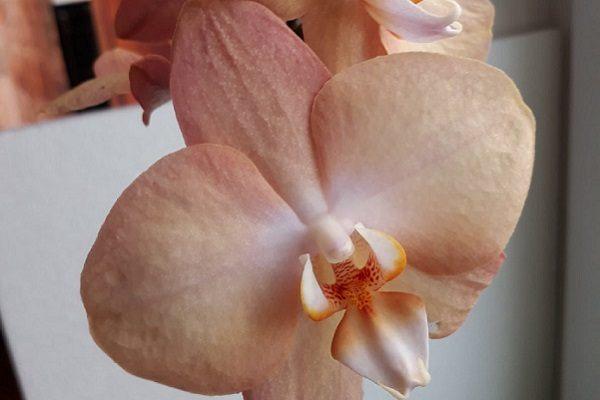 Домашнее цветение Просекко