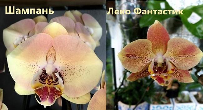 Орхидеи Шампань и Леко Фантастик