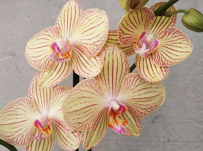 Орхидея Торино
