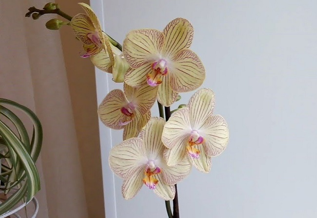 Домашнее цветение Торино