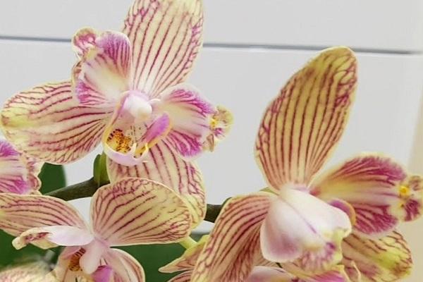 Мутация орхидеи бабулетка