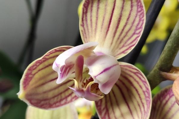 Раскрывается бутон орхидеи