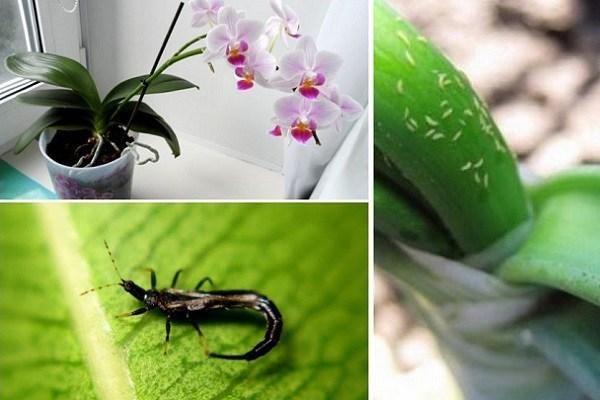 Поражение орхидеи трипсами