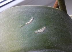 Белые полоски на листьях фаленопсиса