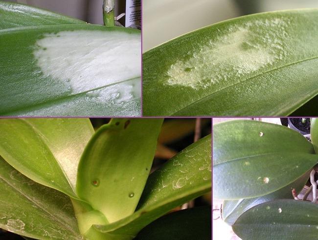 Белые пятна на листьях орхидеи