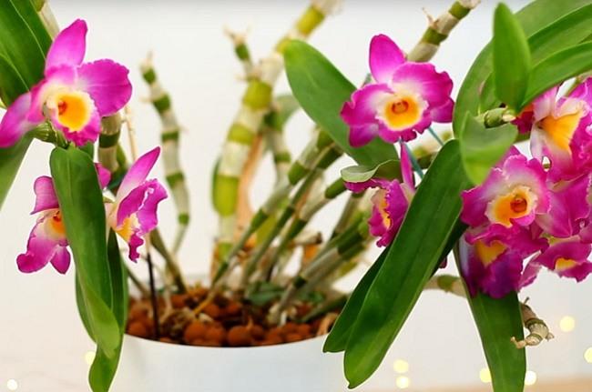 Дендробиум цветущий