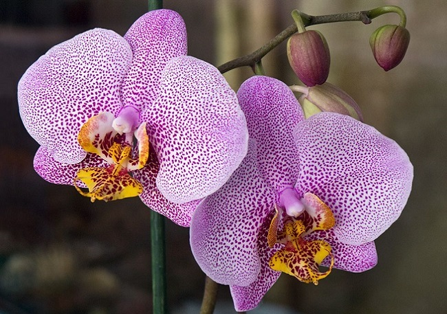 Орхидея Манхеттен