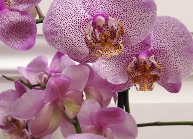 Домашнее цветение Манхеттен