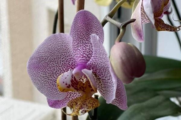 Бутон и раскрытый цветок