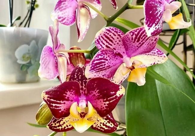 Орхидея стоит на светлом месте