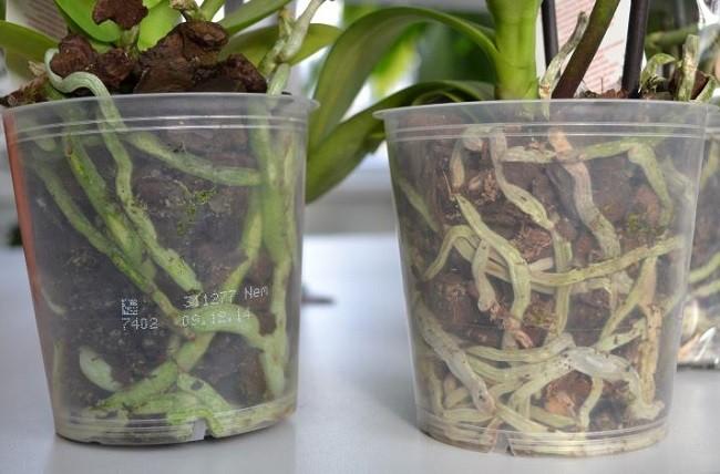 Светлые корни фаленопсиса