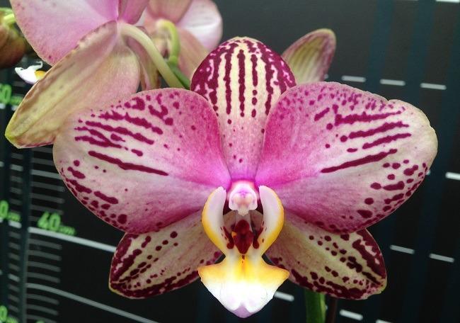 Губа и лепестки орхидеи