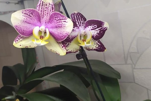Домашнее цветение Пинифа