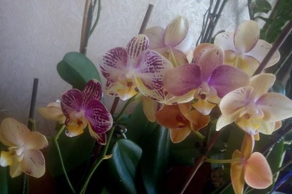 Вариативное цветение орхидеи