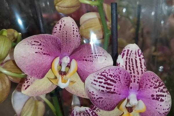 Магазинное цветение фаленопсиса