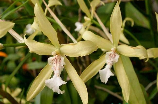 Цветение орхидеи Мильтония