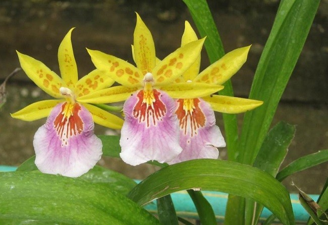 Желто-розовая орхидея Мильтония