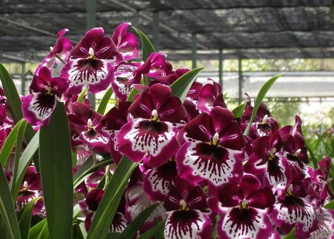 Орхидея мильтония бордовая
