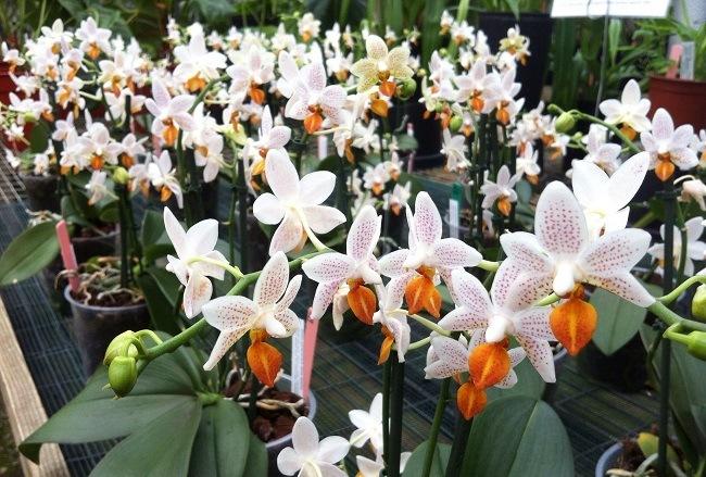 Орхидея Мини Марк
