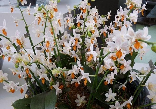 Пышное цветение Мини Марк