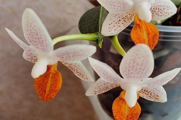 Орхидея с крапинками