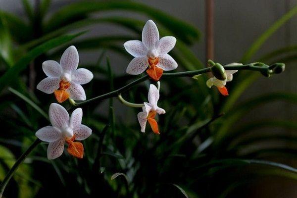 Маленькие цветочки фаленопсиса
